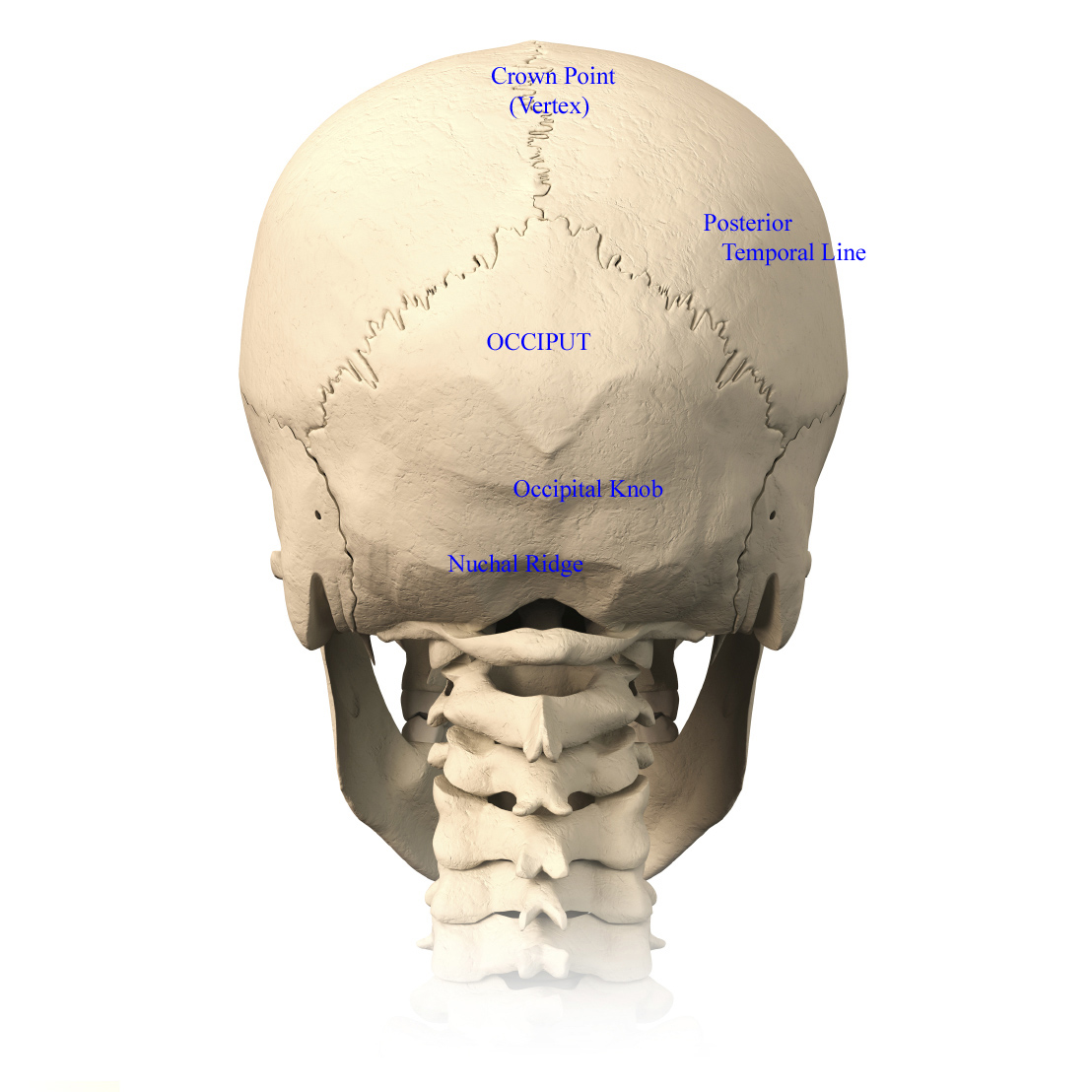Skull Anatomy - Terminology | Dr. Barry L. Eppley