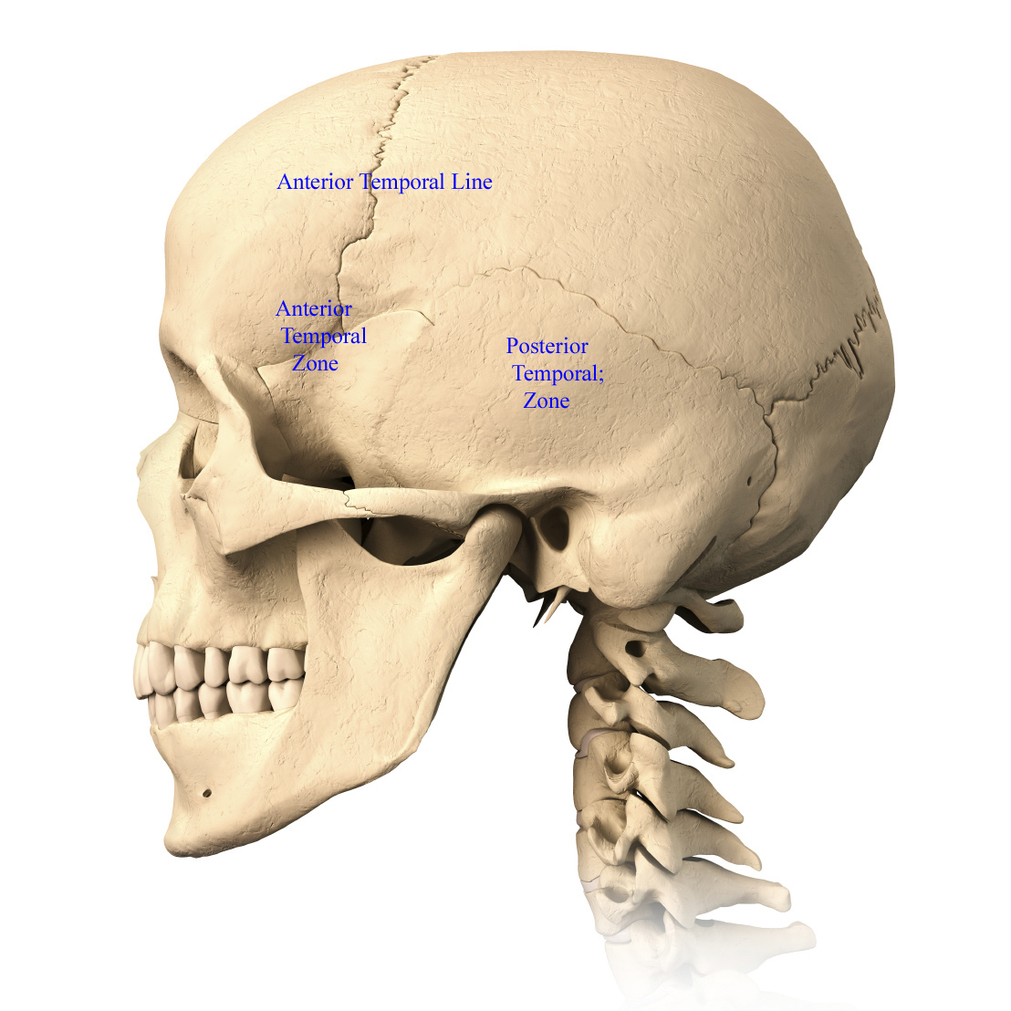 Very detailed and scientifically correct human skull. Three orthogonal views, plus perspective, on white background. Anatomy image.